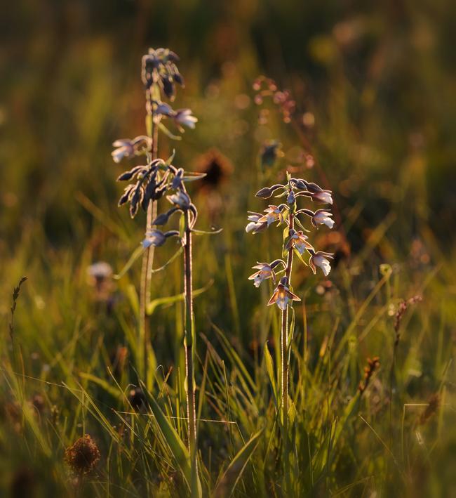 Orkidee-Lowlight-Jyetorp650