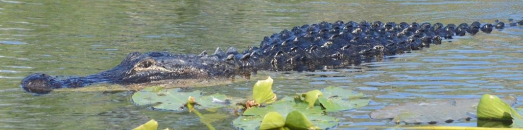 cropped-alligator_01.jpg